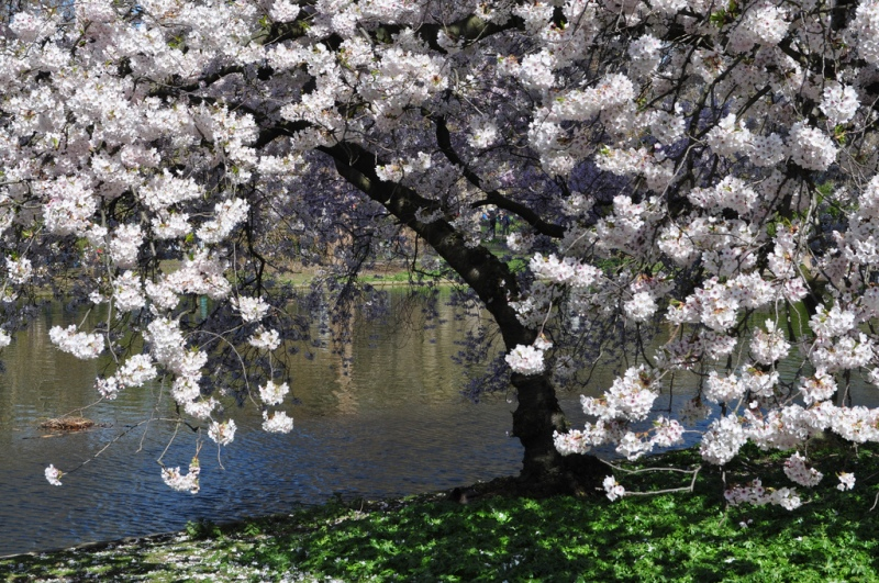 Cherry Blossom in St James's Park