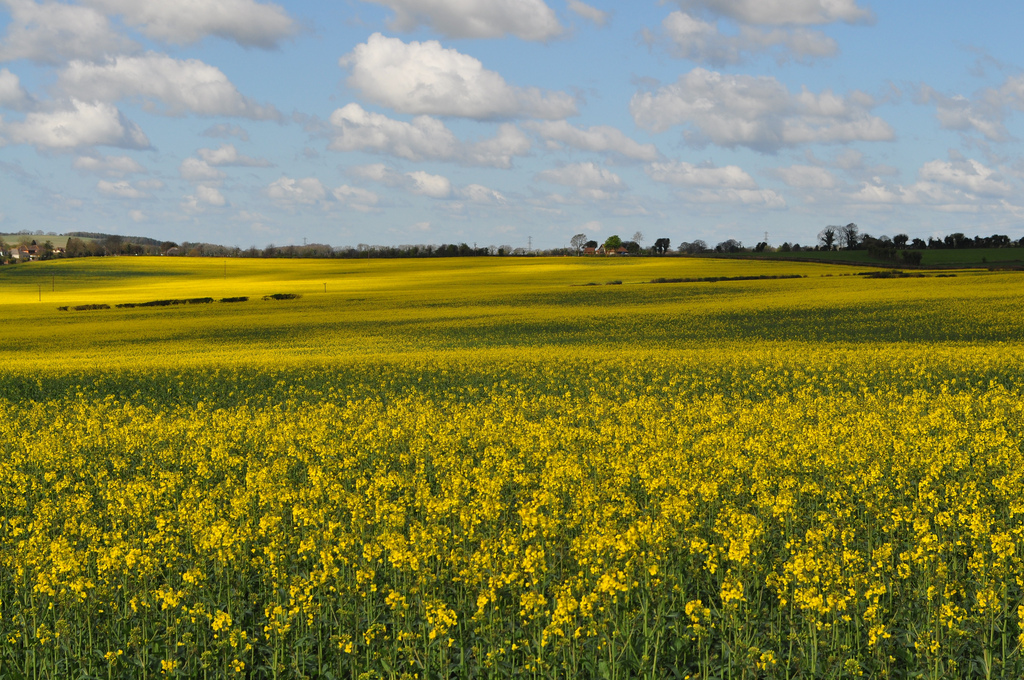 Spring is here the rapeseed fields are in full bloom a3 traveller living here in hampshire you suddenly become aware that spring has well sprung when you are surrounded by fields of the most vibrant yellow flowers mightylinksfo