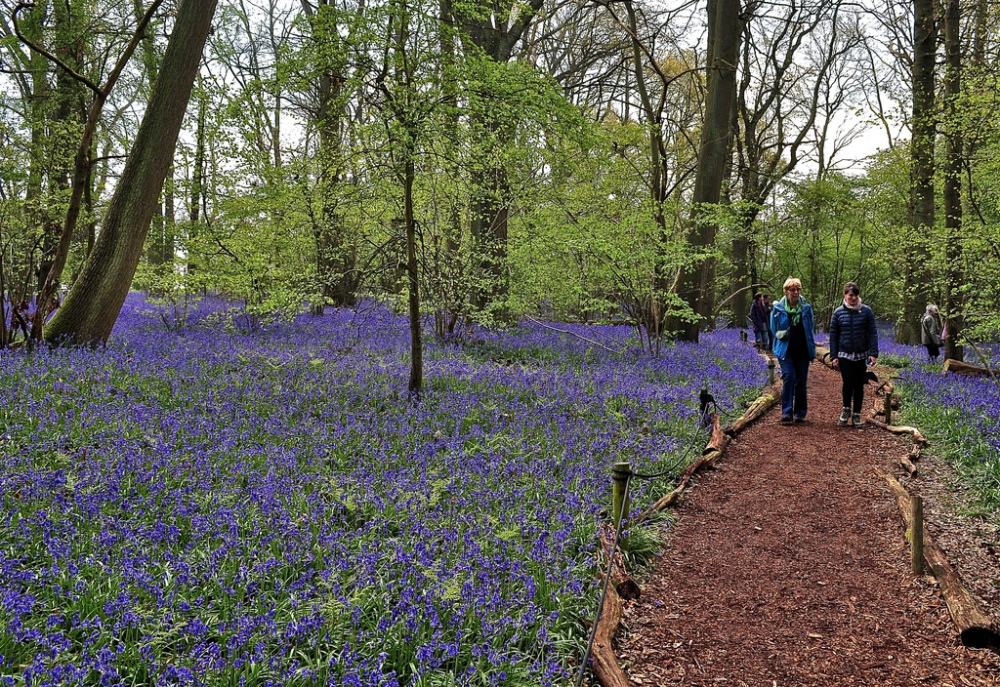Bluebell walk, Little Wix Wood
