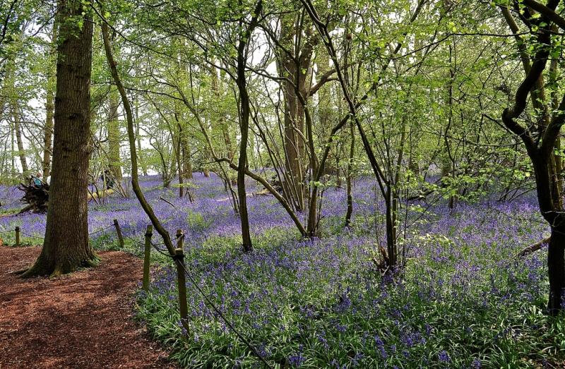 Bluebell walk, Little Wix Wood