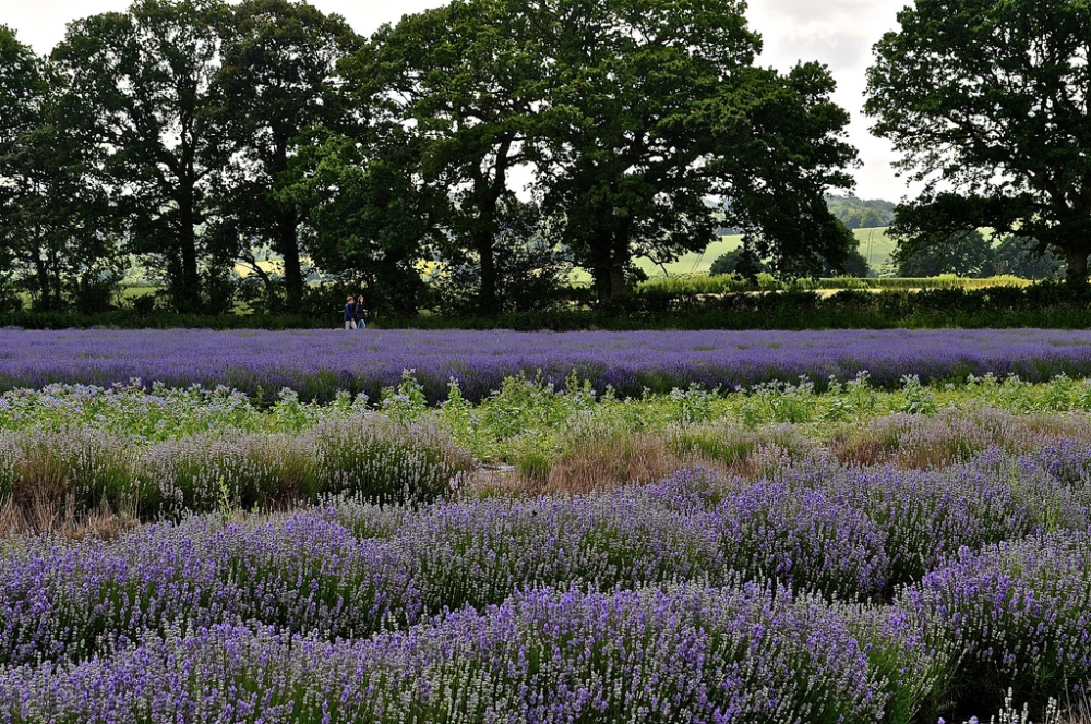Lavender Fields, Alton, Hampshire