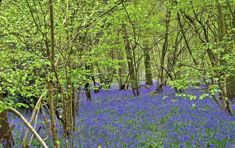 Bluebell Woods, Hatchlands Park, Surrey