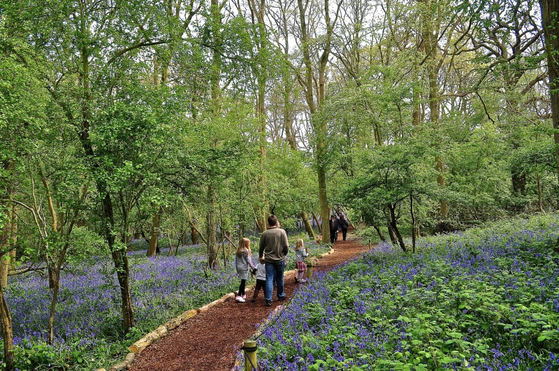 Bluebell Wood, Hatchlands Park, Surrey