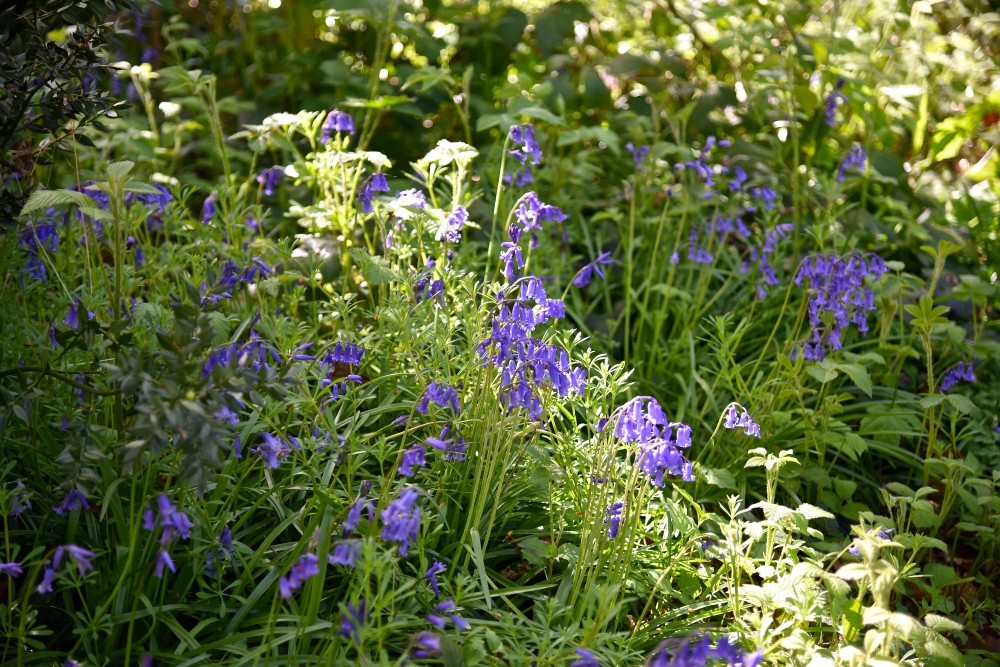 Bluebells, Park Wood, Hampshire