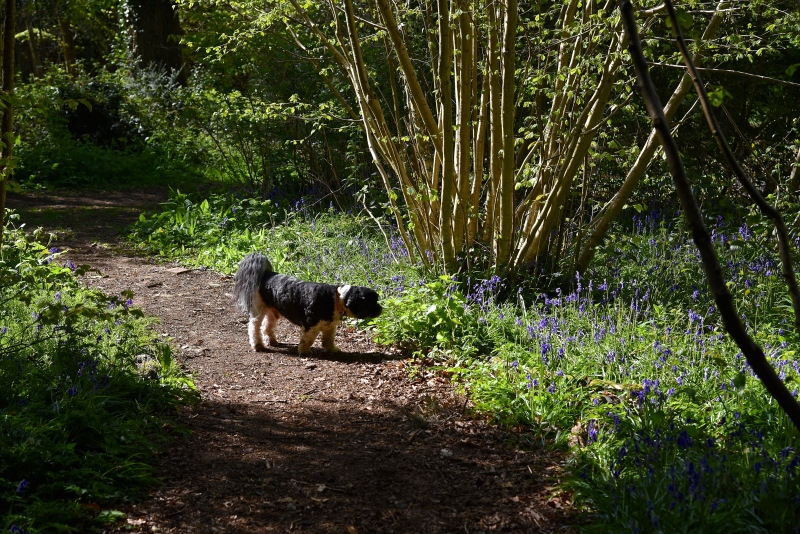 The Hound with bluebells in Park Wood, Hampshire