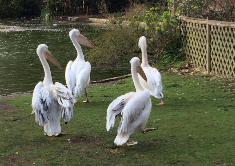 St James's Park, London - the pelicans
