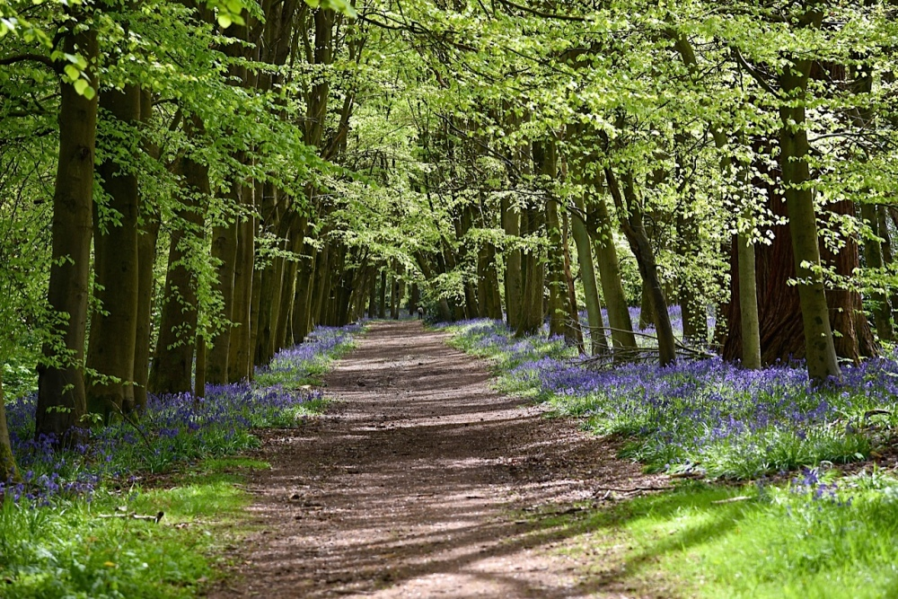 Bluebell Woods in Hampshire & Surrey by Sue Lowry