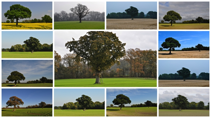 Petersfield Tree 2