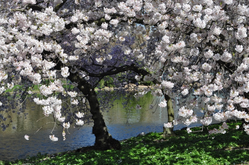 Cherry blossom in St James's Park London by Sue Lowry