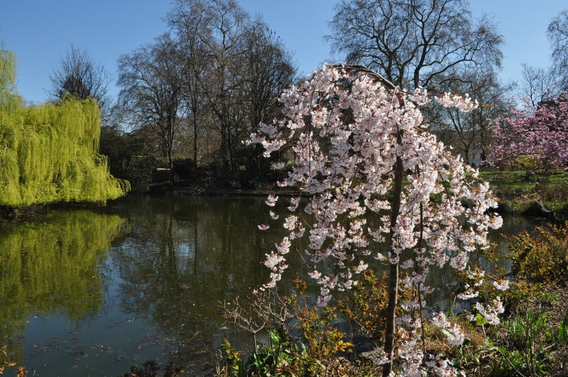 Cherry blossom in St James's Park by Sue Lowry