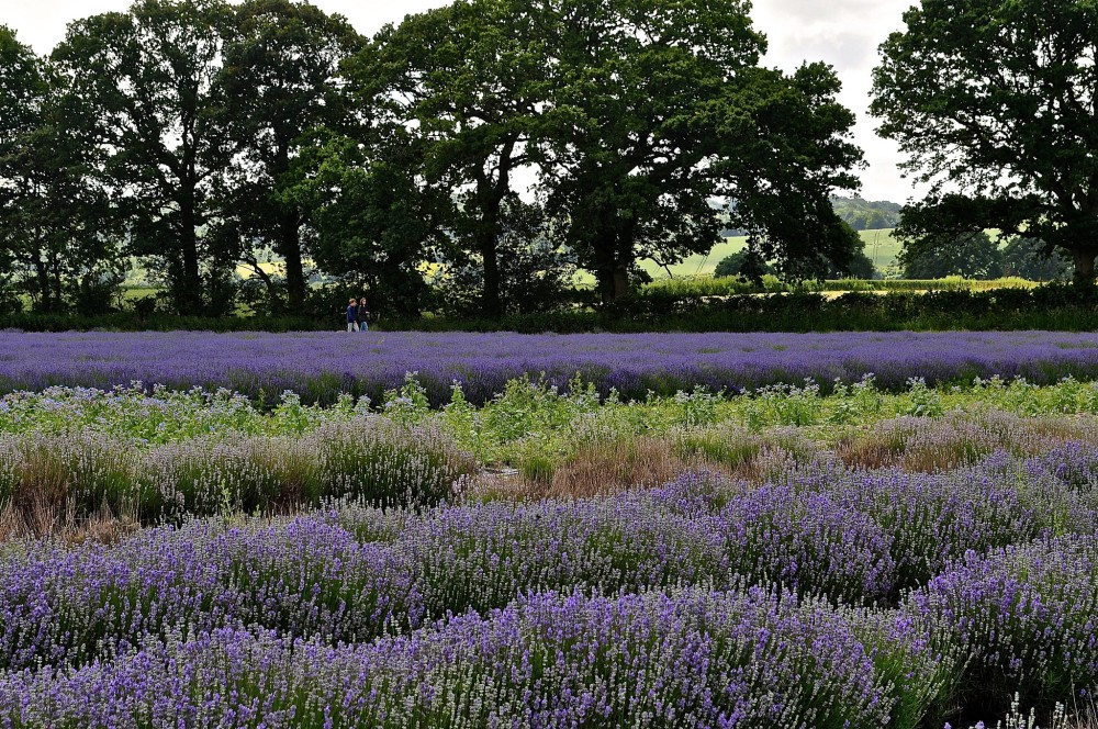 Lavender Fields Hampshire by Sue Lowry