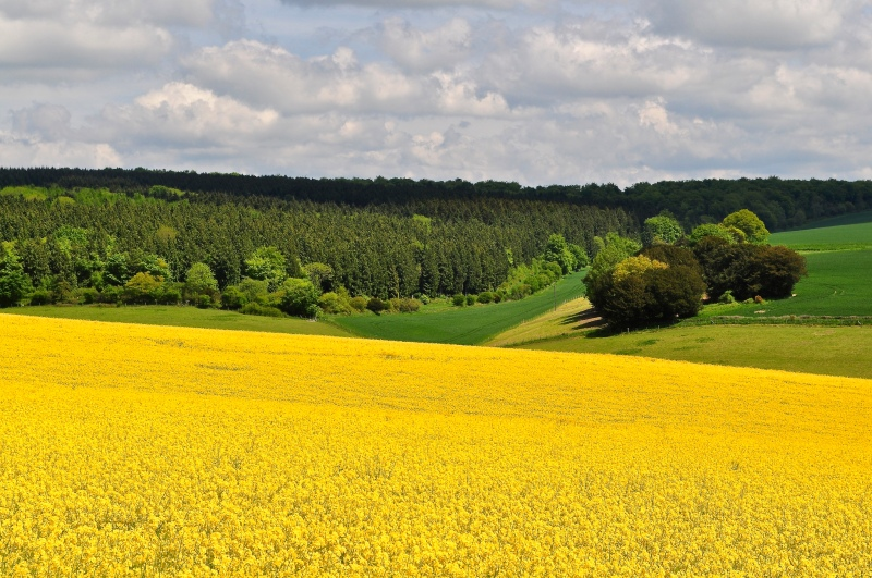 Rapeseed fields in Hampshire by Sue Lowry