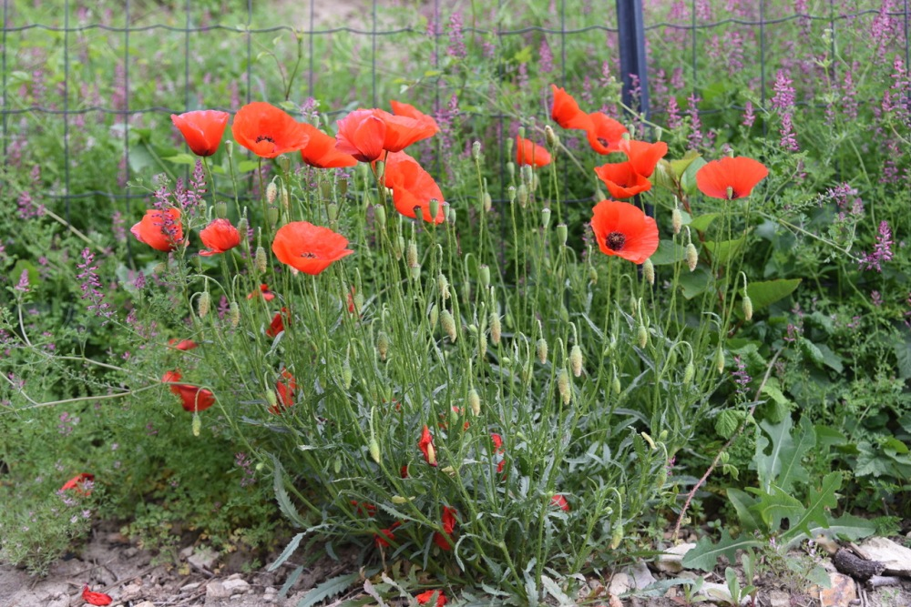 The significance of the red poppy - copyright Sue Lowry